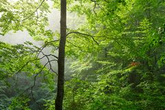 Colorful landscape with beech forest and the sun, with bright rays of light beautifully shining through the trees and morning fog. Landscape with beech forest Royalty Free Stock Images