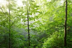 Colorful landscape with beech forest and the sun, with bright rays of light beautifully shining through the trees and morning fog. Landscape with beech forest Stock Photography