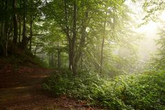 Colorful landscape with beech forest and the sun, with bright rays of light beautifully shining through the trees and morning fog. Landscape with beech forest Royalty Free Stock Photography