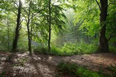 Colorful landscape with beech forest and the sun, with bright rays of light beautifully shining through the trees and morning fog. Landscape with beech forest Stock Photos