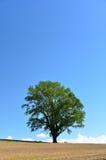 Landscape of Biei, Hokkaido. (Poplar tree) Stock Image