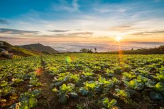 The Scene of Thailand about Big Cabbage farm on the mountain, Ph. Landscape of Big Cabbage farm on the mountain in sunrise, Located Phu Tubberk Phetchabun royalty free stock image