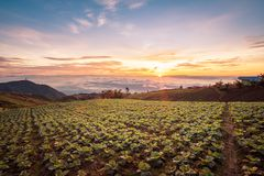 The Scene of Thailand about Big Cabbage farm on the mountain, Ph. Landscape of Big Cabbage farm on the mountain in sunrise, Located Phu Tubberk Phetchabun royalty free stock images