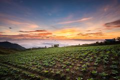 The Scene of Thailand about Big Cabbage farm on the mountain, Ph. Landscape of Big Cabbage farm on the mountain in sunrise, Located Phu Tubberk Phetchabun royalty free stock photo