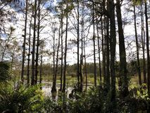 autumn cypress swamp landscape royalty free stock images