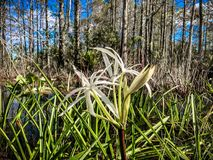 White swamp flower and cypress trees. Landscape of Big Cypress National Swamp in Florida royalty free stock photos