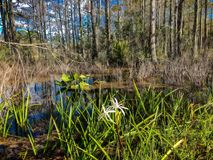 White swamp flower and cypress trees. Landscape of Big Cypress National Swamp in Florida stock photo