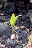 Big Island - Coconut Growing in Lava Rock. The landscape of the Big Island of Hawaii will soon be changed.  The Trees and fauna of Southeast Big Island, Hawaii Stock Photo