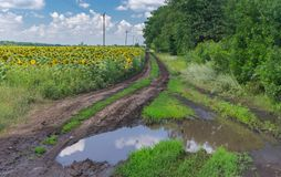 Landscape with big puddle on an earth road beside sunflower agricultural field in Poltavskaya oblast, Ukraine Royalty Free Stock Photography