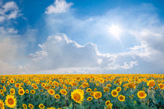 Landscape with big sunflowers field stock photo