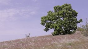 Landscape with big tree and high grass sky. wind tree grass sky. Background. stock video