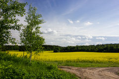 Landscape with a birch and a field. The birch near road and fields with rape Stock Photography