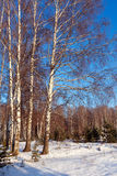 Landscape with birch forest in  winter Royalty Free Stock Photos