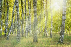 Landscape birch grove. Autumn. The lights of a sun royalty free stock photo