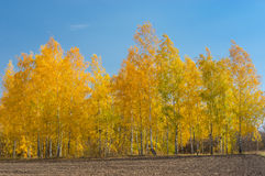 Landscape with a birch grove on an edge of agricultural field Royalty Free Stock Photo