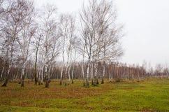 Landscape birch grove Stock Image