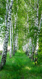 Landscape of  birch grove in spring Royalty Free Stock Photography