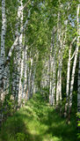 Landscape of  birch grove in spring Royalty Free Stock Photo