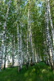 Landscape of  birch grove in spring Stock Images