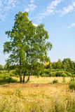 Landscape with birch. Summer landscape with birch. On the birch visible gray hair yellow leaves Royalty Free Stock Photography