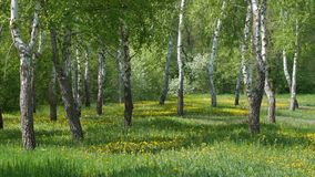Landscape with birch trees and dandelions. Spring landscape with birch trees and dandelion flowers stock footage
