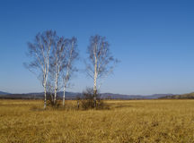Landscape with birches Stock Photos