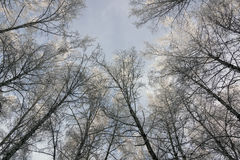 Landscape with birches. Royalty Free Stock Photos
