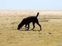 Black Labrador dog sniffing the sand on the beach Stock Photography