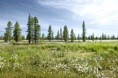 Landscape with blooming Cotton Grass Stock Photo