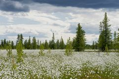 Landscape with blooming Cotton Grass. Summer Landscape with blooming Cotton Grass Stock Photos