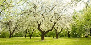 Landscape with blossoming Apple garden in spring. Beautiful Landscape with blossoming Apple garden in spring. Springtime. Web banner Wide Horizontal Wallpaper stock photos
