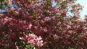 Landscape of a blossoming apple-tree. The rays of the sun make their way through the leaves and branches of the apple tree. Bees f stock video footage