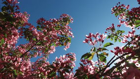 Landscape of a blossoming apple-tree. The rays of the sun make their way through the leaves and branches of the apple tree. Bees f stock footage