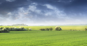 Landscape with blossoming field of wild cherries Royalty Free Stock Photos