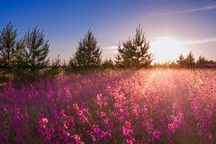 Landscape with the blossoming  meadow at sunrise Royalty Free Stock Photo