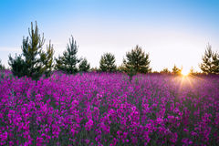 Landscape with the blossoming  meadow at sunrise Stock Photos