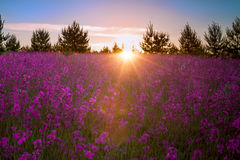Landscape with the blossoming  meadow at sunrise Royalty Free Stock Images
