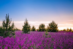Landscape with the blossoming  meadow at sunrise Stock Image
