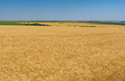 Landscape with blue cloudless sky and ripe wheat fields near Dnipro city, central Ukraine Royalty Free Stock Image