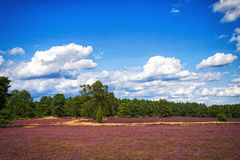 Landscape with blue sky, clouds, trees and and heide meadow. Path trough heathland with flowering common heather (Calluna vulgaris) and an oak in the Lueneburg royalty free stock photos