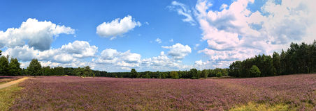 Landscape with blue sky, clouds, trees and and heide meadow. Path trough heathland with flowering common heather (Calluna vulgaris) and an oak in the Lueneburg royalty free stock image