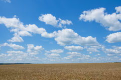 Landscape with blue sky, clouds and wheat field Royalty Free Stock Photography