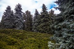Landscape with blue spruces and juniper bushes Stock Photo