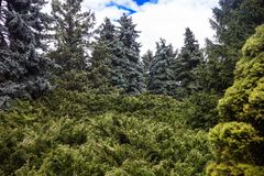 Landscape with blue spruces and juniper bushes Royalty Free Stock Images