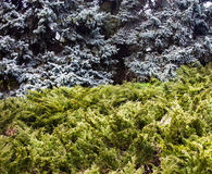 Landscape with blue spruces and juniper bushes Royalty Free Stock Photo