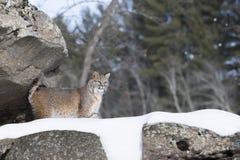 Landscape Bobcat on snowy cliff. Bobcat standing on snowy cliff in landscape mode Royalty Free Stock Images