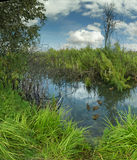 Landscape with bog ducks Royalty Free Stock Photo