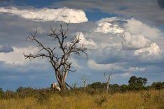 Landscape Botswana Stock Image