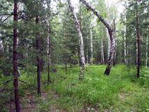 Landscape with broken birch in the mixed spruce and birch forest in summer stock images