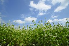 Landscape of Buckwheat field Royalty Free Stock Images